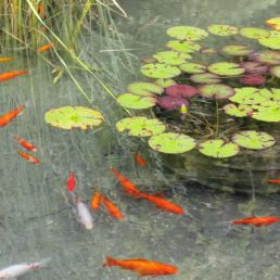 balanced pond water with fish and water lily