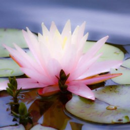 deep water emergent plants - water lily