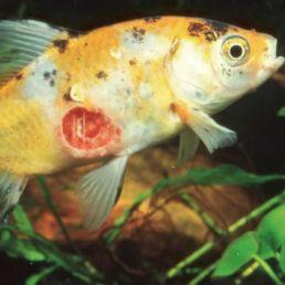 fish bacteria