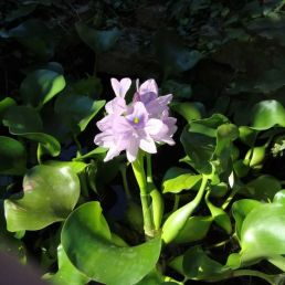 flating pond plant - water hyacinth
