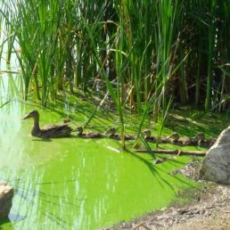 pond algae with ducks