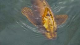 rare gold koi carp